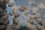 Một số lưu ý trong nuôi ếch thương phẩm