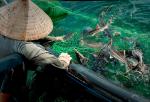 Làm giàu từ nuôi cá lồng