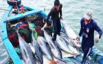 Phú Yên: Sản lượng khai thác cá ngừ đại dương tăng gần 5% so cùng kỳ