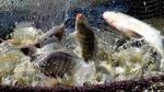 Feed LP20®, cải thiện nguồn gốc cấp độ tế bào cá rô phi