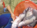 Hiệu quả nuôi cá nheo Mỹ ở Hưng Yên