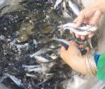 Tăng tỷ lệ sống cho cá tra