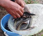 Bình Định: Hiệu quả bất ngờ từ mô hình nuôi cá chạch đồng tại huyện miền núi Vân Canh