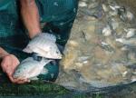 Nhân giống chọn lọc có thể cải thiện sức đề kháng với Streptococcus trong cá rô phi