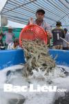 Bạc Liêu: Nâng cao hiệu quả kinh tế từ mô hình nuôi tôm quảng canh