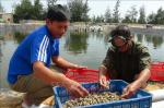 Nuôi ốc hương lãi tiền tỷ ở vùng ven biển Quảng Bình