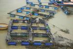 Tăng cường quản lý nuôi cá lồng bè trên sông và hồ chứa