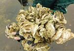 Ninh Bình: Để hàu giống Kim Sơn phát triển bền vững
