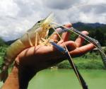 Tôm càng xanh - hướng đi mới cho ngành tôm toàn cầu?