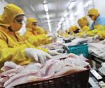 Thức ăn tôm thẻ từ phụ phẩm cá rô phi ủ chua