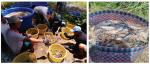 Kiên Giang: Hiệu quả luân canh tôm càng xanh toàn đực - lúa