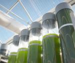 Ma Rốc: Tham vọng dẫn đầu thế giới về sản xuất tảo biển