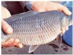 Bệnh trên cá trắm cỏ, rô phi và biện pháp điều trị