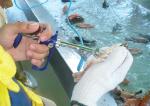 Vaccine niêm mạc: Triển vọng mới cho nghề nuôi cá rô phi