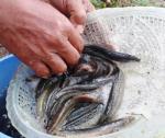 Kỹ thuật nuôi thương phẩm cá chạch đồng ao đất