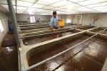 Một số biện pháp phòng, chống dịch EHP tại các cơ sở sản xuất tôm giống