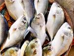 Kiên Giang: Thử nghiệm thành công nuôi cá bè quỵt lồng bè