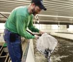 Trung Quốc: Sản xuất thức ăn công nghiệp cho cá chẽm