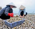 Phát triển bền vững nghề nuôi nghêu