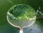 Kiểm soát các loại tảo gây hại trong ao nuôi