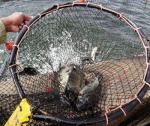 Nerolidol cải thiện tăng trưởng và chất lượng thịt cá rô phi