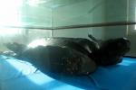 Quảng Ngãi: Tiêu bản rùa da quý hiếm ở Lý Sơn
