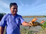 Trà Vinh: Nông dân phấn khởi từ dự án nuôi cua quảng canh