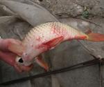 Phòng, trị bệnh virus mùa xuân trên cá chép