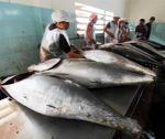 Nỗi lo giá cá ngừ đại dương xuống thấp