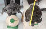 Bình Định: Thả đồi mồi nặng 3 kg về tự nhiên