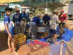 Đồng Tháp: Giá cá lóc tăng, người nuôi vừa mừng, vừa lo