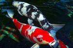 Virus gây bệnh phù trên cá koi ở nhiệt độ thấp
