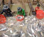 Bài toán vực dậy ngành hàng cá tra