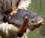 Quy trình nuôi cá hô thương phẩm