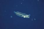 Krill cải thiện tăng trưởng và đề kháng của cá bơn oliu