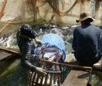 Cơ hội cho cá tra tại thị trường trong nước