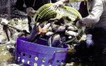 Trung Quốc: Cá rô phi quay lại thị trường nội địa