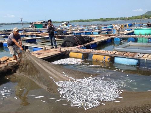 Cá bớp chết rải rác tại các lồng bè ở đảo Hòn Chuối