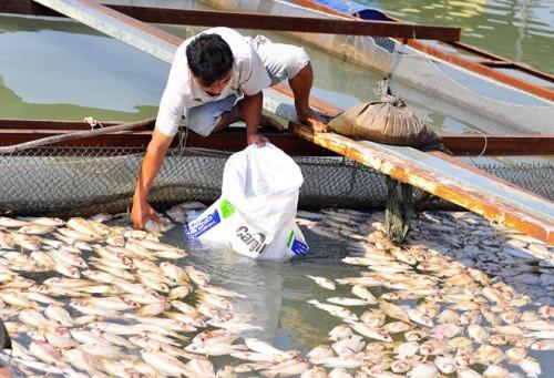 Hơn 70 tấn cá nuôi  lồng bè của người dân bỗng nhiên chết nổi kín mặt nước