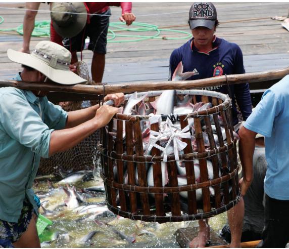 Nông dân nuôi cá tra: Trăm triệu kiếm lâu, tiền tỷ mất nhanh