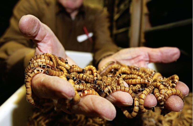 Phát hiện mới về bột côn trùng nuôi tôm
