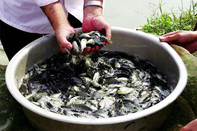 Phát triển cá rô phi: Cần cung cấp đủ giống chất lượng tốt