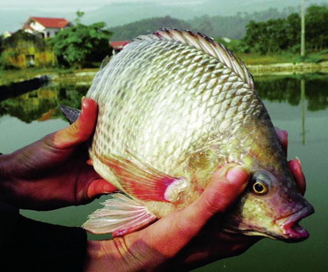 Công nghệ sản xuất giống thủy sản đơn tính