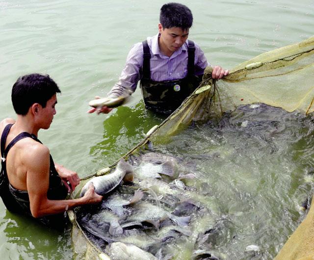 Bền vững như nuôi cá rô phi VietGAP