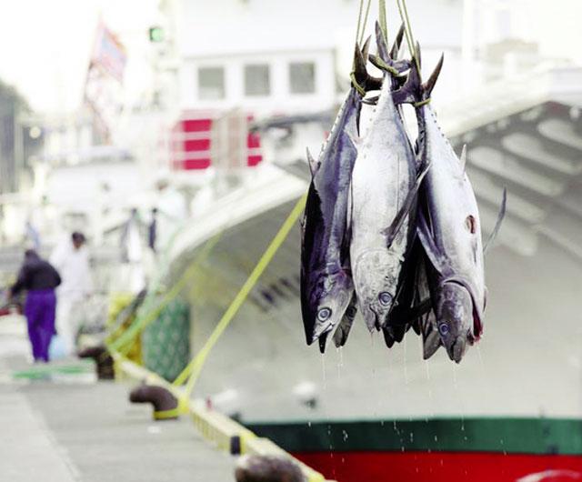 Hướng đến nghề câu cá ngừ vằn bền vững