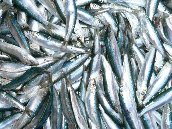 Thế giới được mùa cá nổi nhỏ