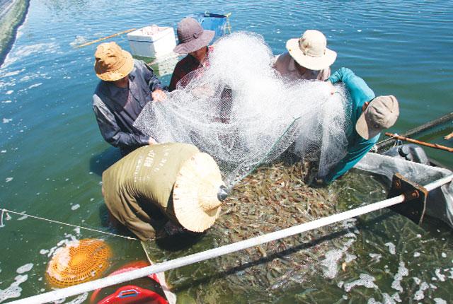 Phú Yên: Hiệu quả mô hình nuôi tôm