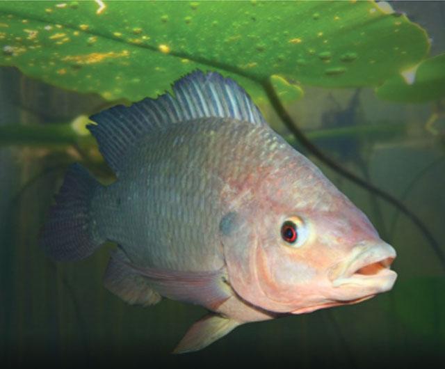 Natri butyrate trong nuôi cá rô phi