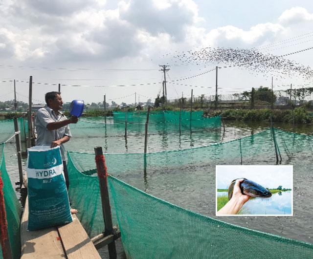 Giải pháp dinh dưỡng toàn diện cho cá lóc