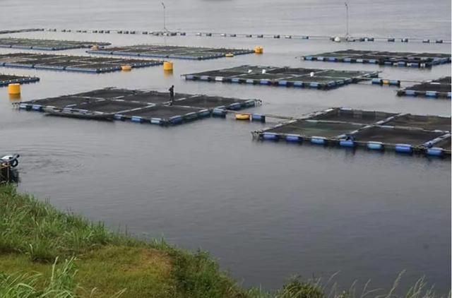 Ghana: Virus khiến cá rô phi chết hàng loạt tại hồ Volta